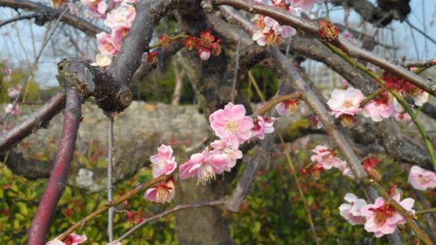 Plum Blossoms in the park beside Hiroshima Castle